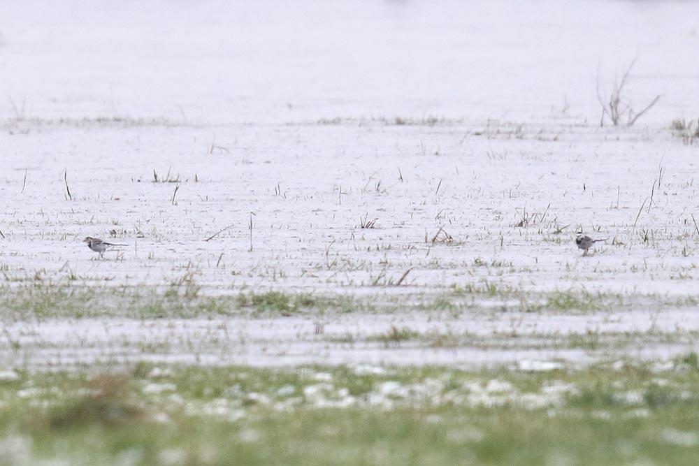 Bei inzwischen grenzwertigen Bedingungen: Bachstelzen auf dem Eis in den Hemmerder Wiesen, 30.11.2017 Foto: Bernhard Glüer