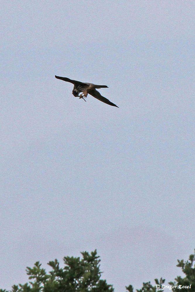 Nachdem er der erbeuteten Libelle die Flügel rausgerissen hatte, flog er mit der Beute in Richtung Wehr ab.....am 17.07.17 Foto: Gregor Zosel