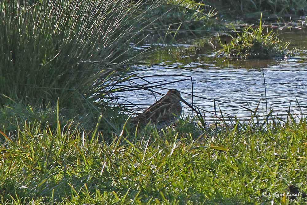 Die Bekassine hat sich ein Schattenplätzchen gesucht, wo sie sie eher ungesehen bleibt......am 30.04.17 Foto: Gregor Zosel