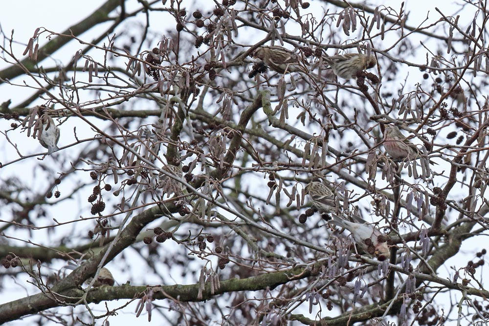 ... hier verbergen sich 8 Vögel ..., 15.12.2017 Foto: Bernhard Glüer
