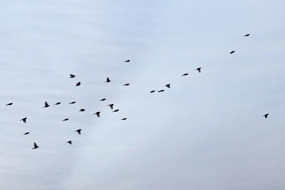 Birkenzeisige über dem Hemmerder Ostfeld bei einem Standortwechsel (fast vollzählig) in der Luft ..., 22.11.2017 Foto: Bernhard Glüer