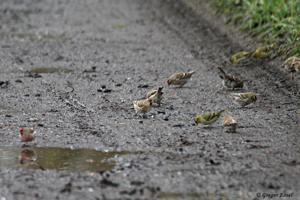 Ab und zu trauten sich auch einzelne Erlenzeisige auf den Boden und gesellten sich zu den Birkenzeisigen. Die Erlenzeisige bevorzugten aber die sichere Höhe der Erlen....am 17.12.17 Foto: Gregor Zosel