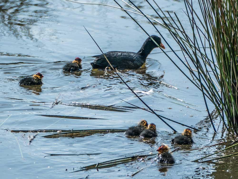 Bläßralle mit Jungvögeln in der Röllingwiese, 30.04.2017 Foto: Hans Joachim Göbel