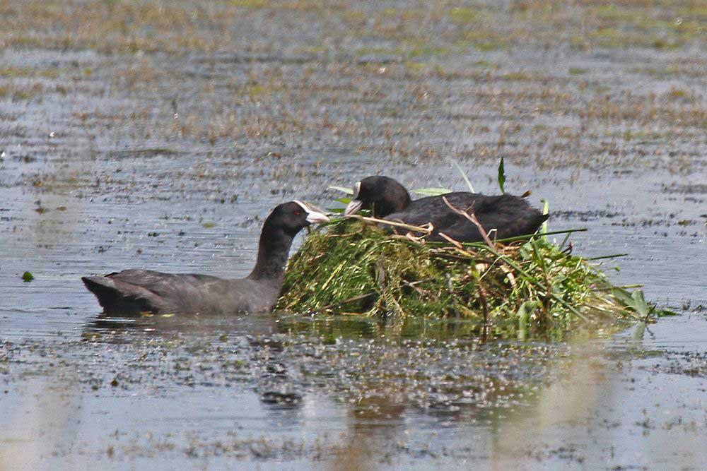 Die Blässrallen bessern ihr Nest nahe des Aussichtshügels immer wieder mit Baumaterial aus.....am 04.07.17 Foto: Gregor Zosel