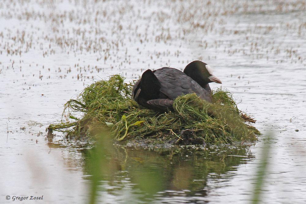 Inmitten einer Wasserfläche hat ein Blässrallenpaar sein Nest gebaut. Hier ist es bestimmt sicherer als im Uferbereich.....am 24.06.17 Foto: Gregor Zosel