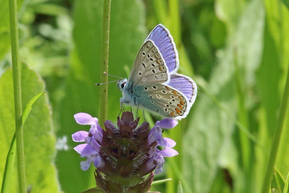 ... nur die Männchen sind wirklich blau, 26.07.2017 Foto: Bernhard Glüer