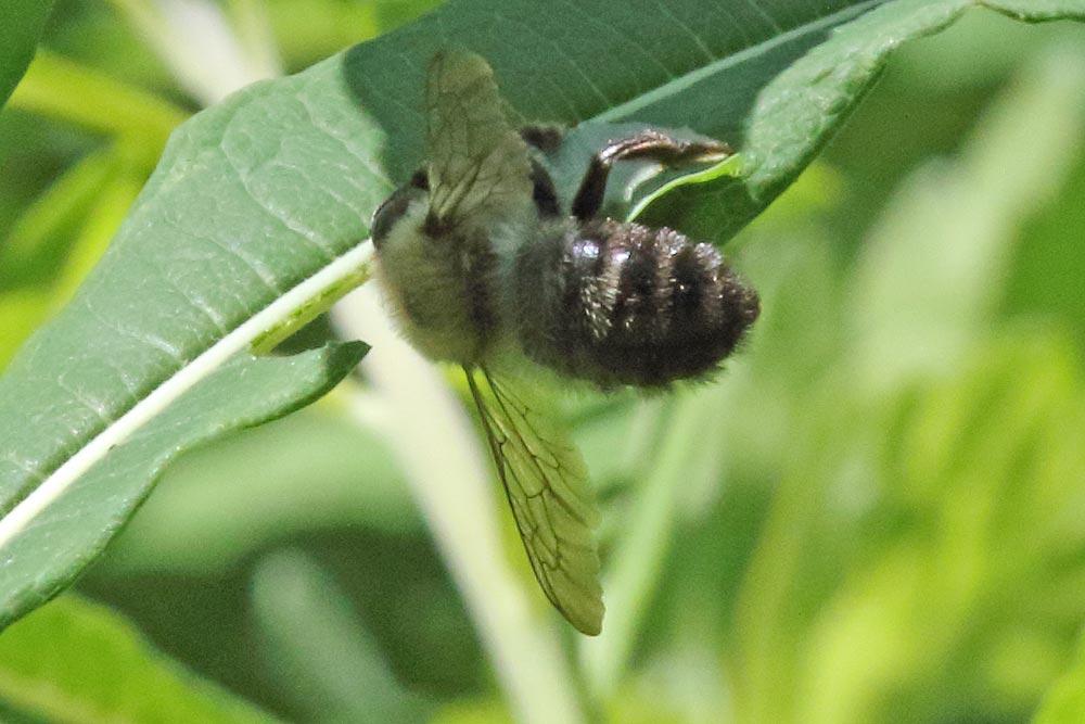 ... schwierig zu fotografieren: die seltene Weidenröschen-Balttschneiderbiene im `Dschungel´ eines Waldweidenröschenbestandes im eigenen Garten bei der Arbeit ..., 11.06.2017 Foto: Bernhard Glüer