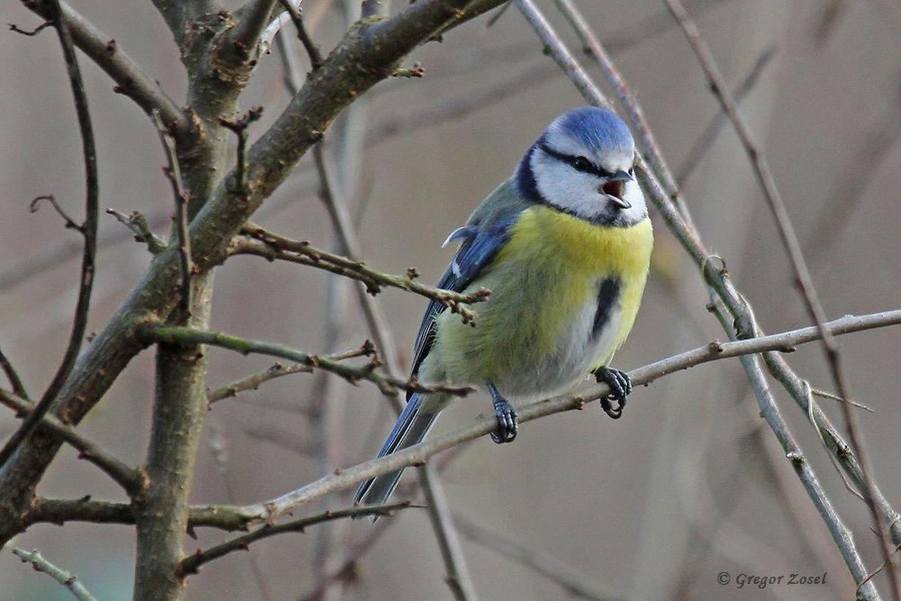Heute am Vormittag war an mehreren Stellen der ausdauernde Gesang der Blaumeisen zu hören, wie hier im Himmelmann Park......am 10.01.17 Foto: Gregor Zosel