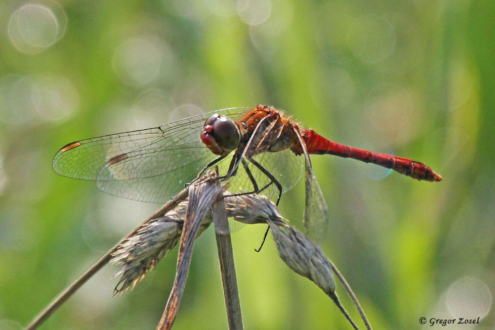 Altes Männchen der Blutroten Heidelibelle.....am 04.07.17 Foto: Gregor Zosel