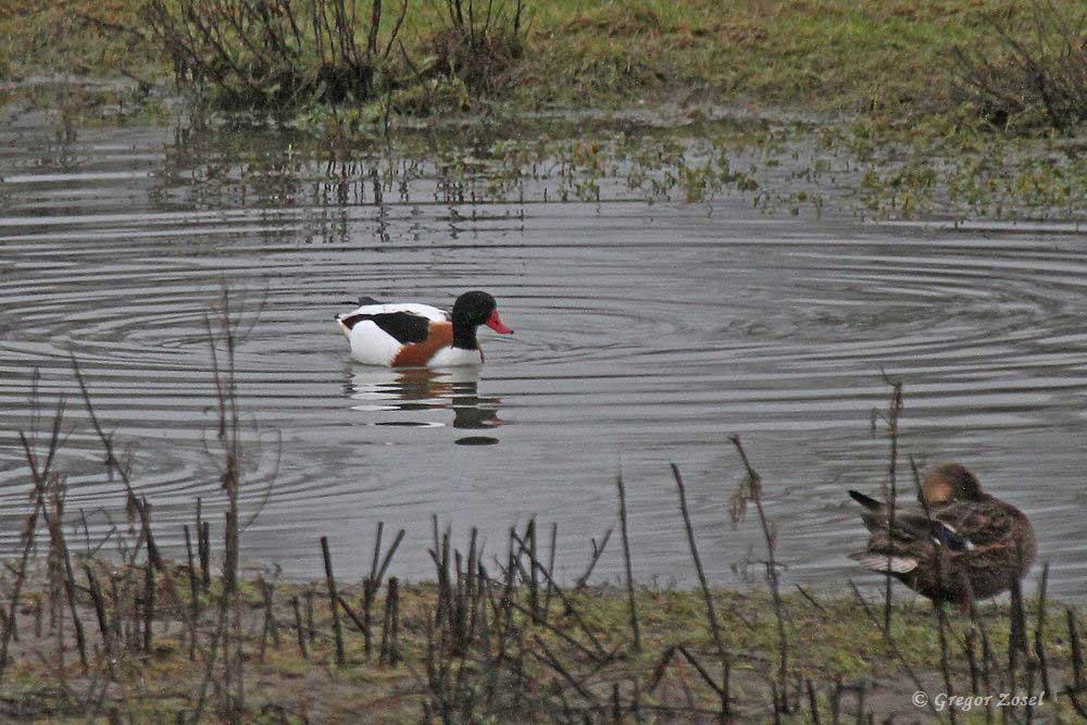 Seelenruhig schwimmt sie ihre Runden.......am 22.12.17 Foto: Gregor Zosel