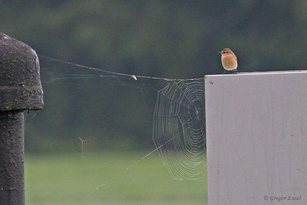 Braunkehlchen mit Spinnennetz im herbstlichen Hammer Wasserwerk....am 17.09.17 Foto: Gregor Zosel