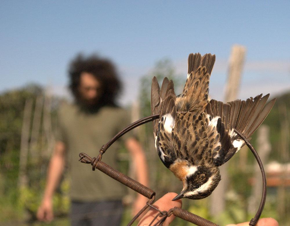 Braunkehlchen in Schlagfalle Foto: Komitee gegen den Vogelmord