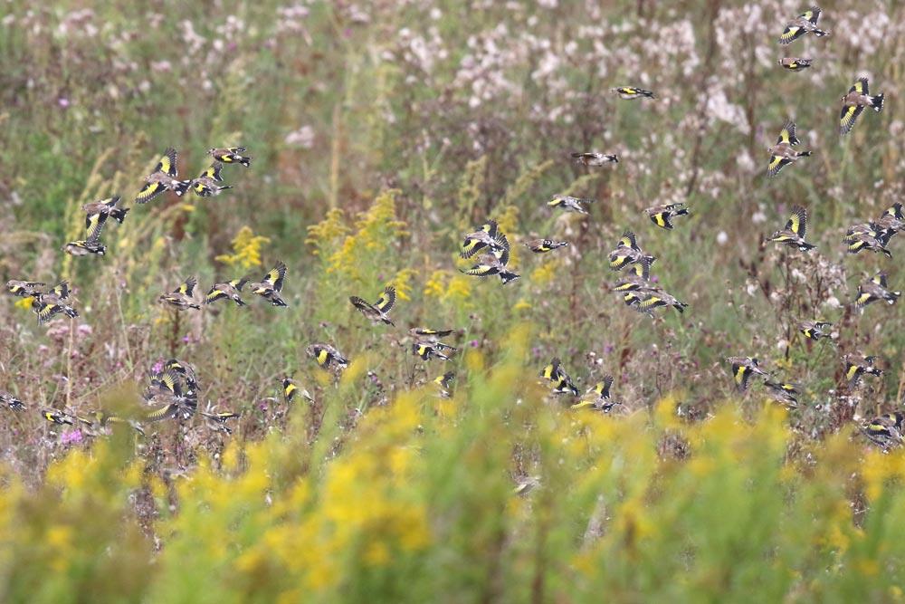 ... finden in den Feldvogelschutzflächen des Kreises UN reichlich Sämereien, 07.09.2017 Foto: Bernhard Glüer