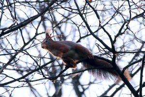 Einen Moment später und aus dem Eichhörnchen wäre ein echtes Flughörnchen geworden