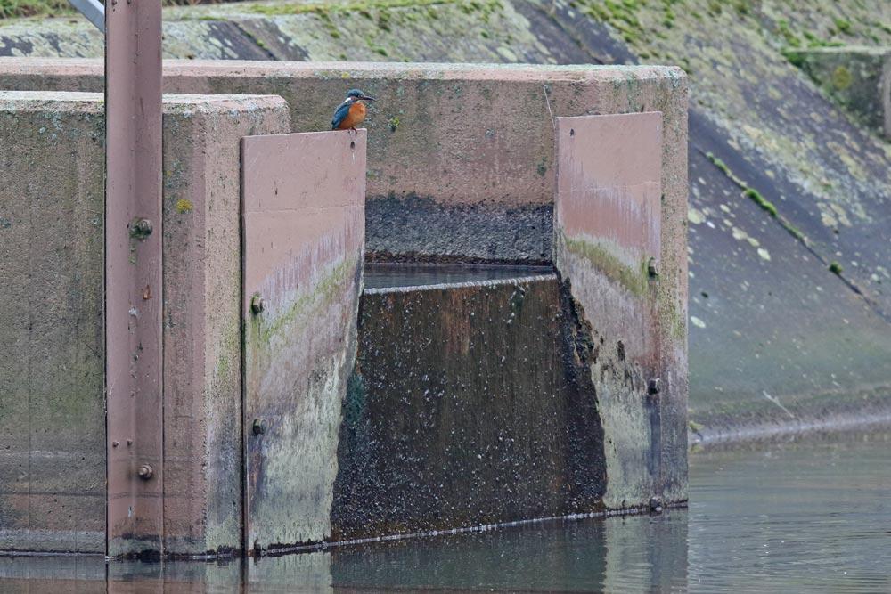 ... auf Beute lauert hier am Wassereinlauf des Filterbeckens jedenfalls ein Eisvogel ..., 17.12.2017 Foto: Bernhard Glüer