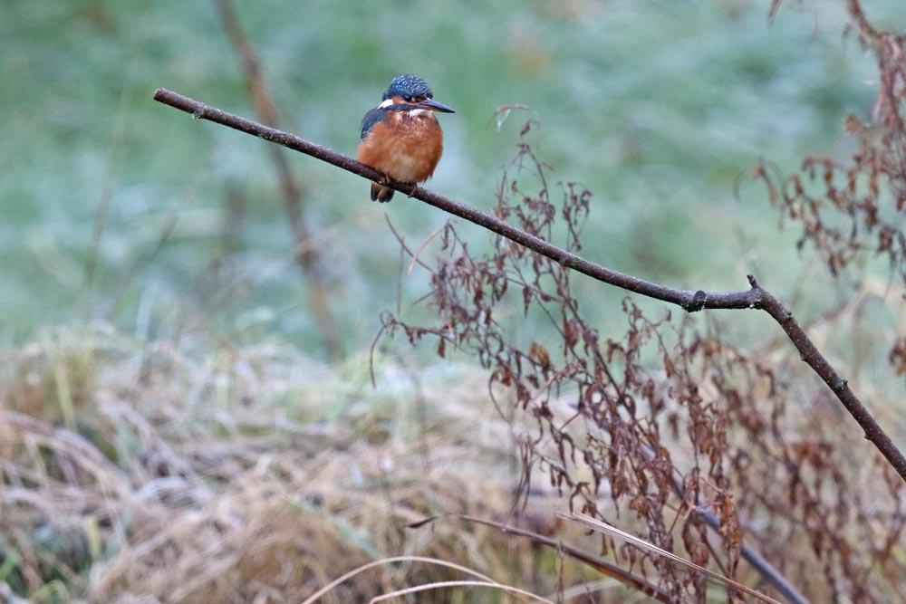 Eisvogel (w) auf `seiner´ Sitzwarte am größtenteils zugefrorenen Gartenteich ..., 29.11.2017 Foto: Bernhard Glüer