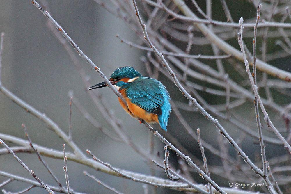 Auch die Eisvögel profitieren von dem hier schnell fließendem Fluss, der trotz den heutigen -9°C noch nicht zugefroren ist.....am 22.01.17 Foto: Gregor Zosel