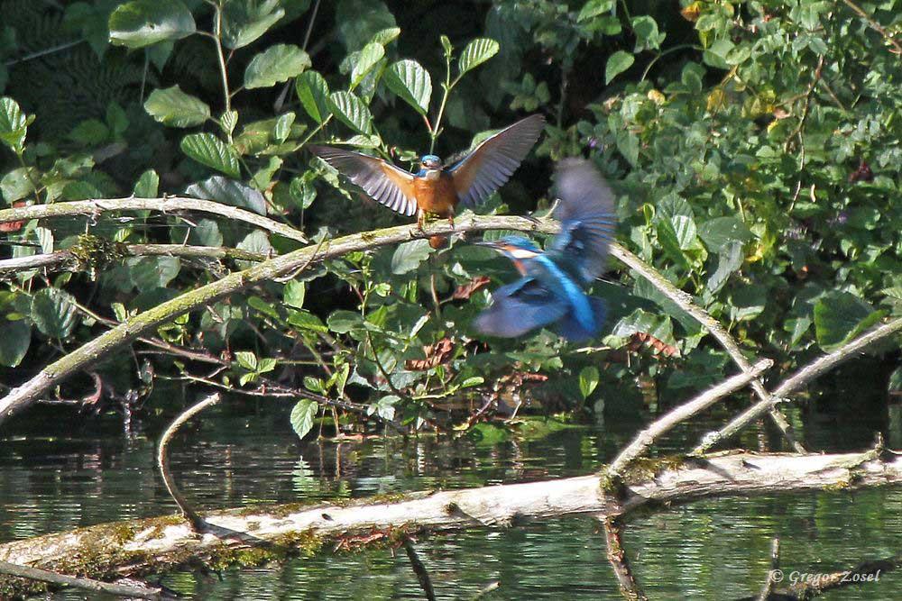 Höchstwahrscheinlich Jungvögel, die sich übermütigt jagten....am 23.07.17 Foto: Gregor Zosel