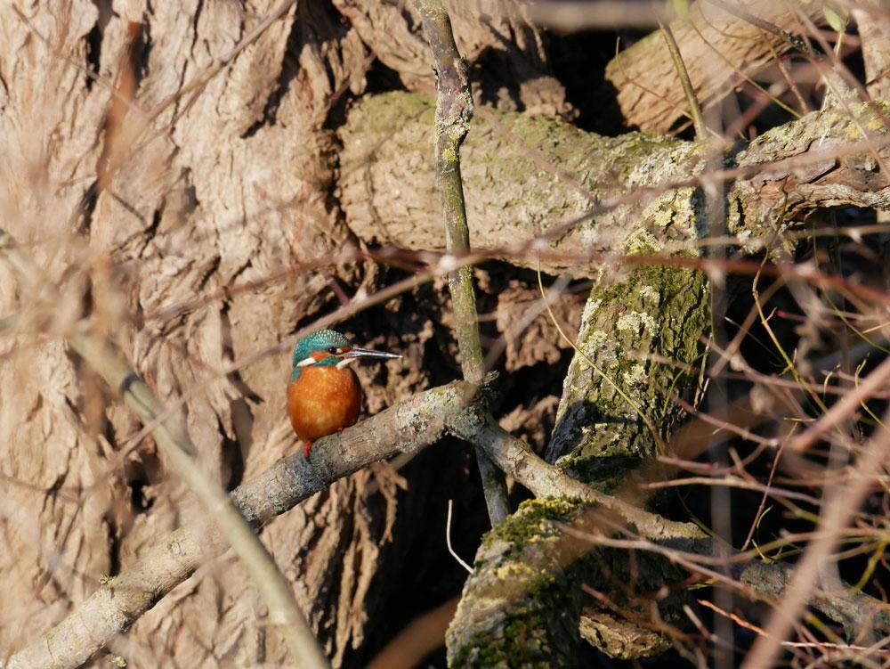 Eisvogel in den Hemmerder Wiesen am 22.01.17 Foto: Hartmut Brecher