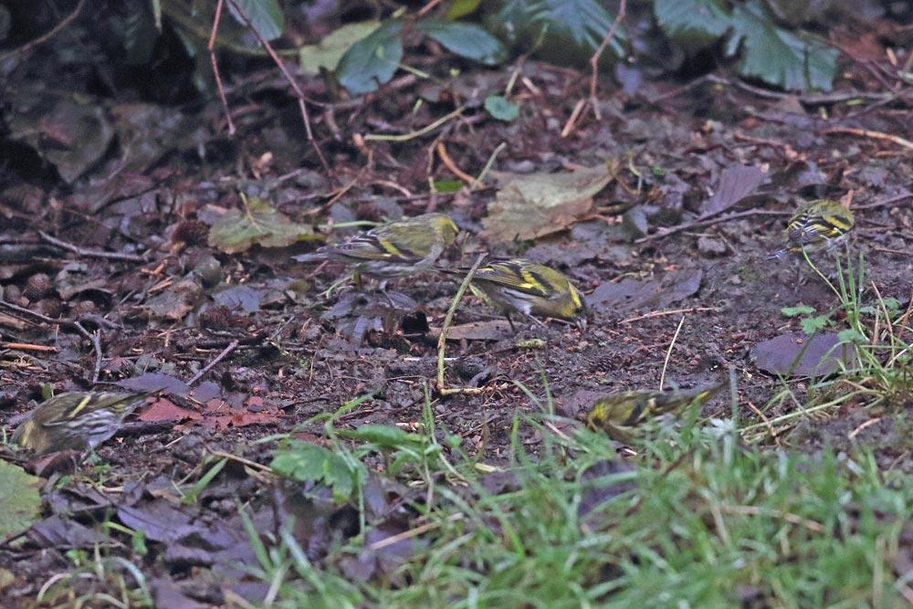 Die meisten Samen der Erlen scheinen inzwischen auf dem Boden gelandet zu sein und bieten den Erlenzeisigen hier noch einen reich gedeckten Tisch..., 21.12.2017 Foto: Bernhard Glüer