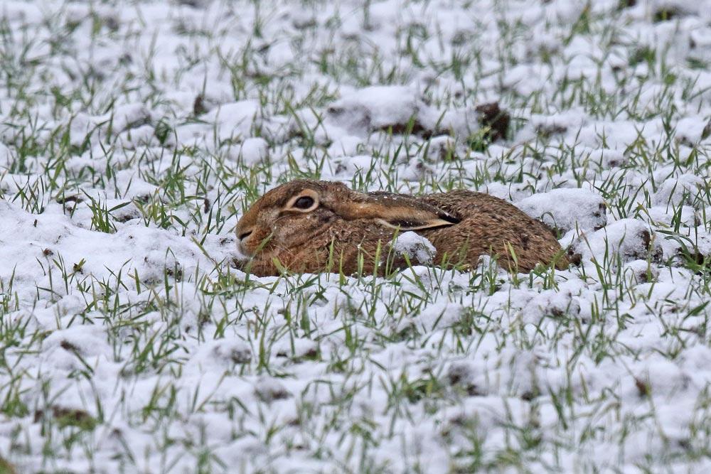 Den Felhasen in den Hemmerder Wiesen dürfte der erste Schnee nicht stören - immerhin hat er es bereits geschafft, die erste große Treibjagd in der vergangenen Woche zu überstehen, 30.11.2017 Foto: Bernhard Glüer