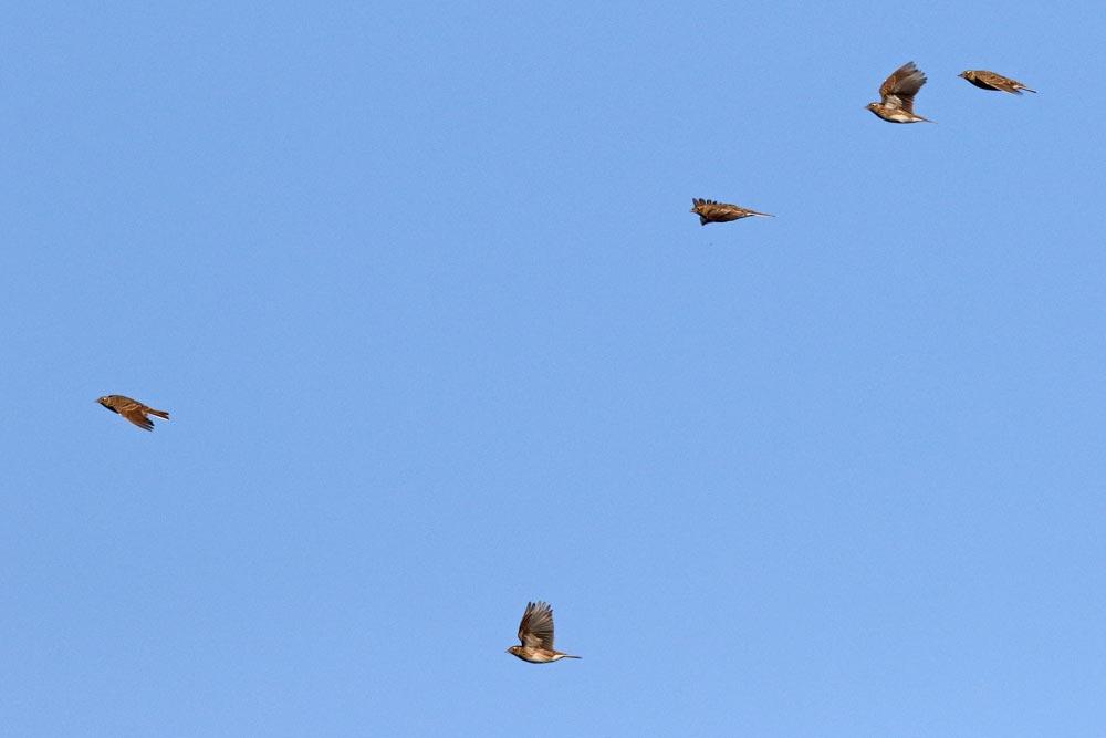 Feldlerchen vor traumhaften Himmel.....am 14.10.17 Foto: Bernhard Glüer