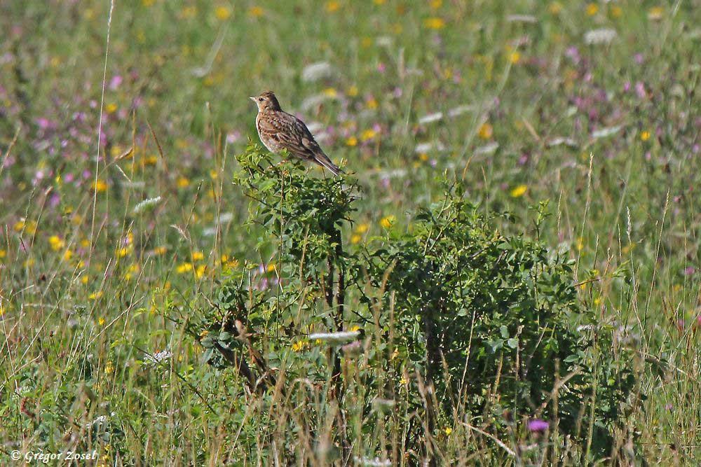 Auf den weiten Wiesenflächen kann man auf niedrigen Büschen die Feldlerchen entdecken, wie sie ihr Revier im Auge behalten.....am 18.07.17 Foto: Gregor Zosel