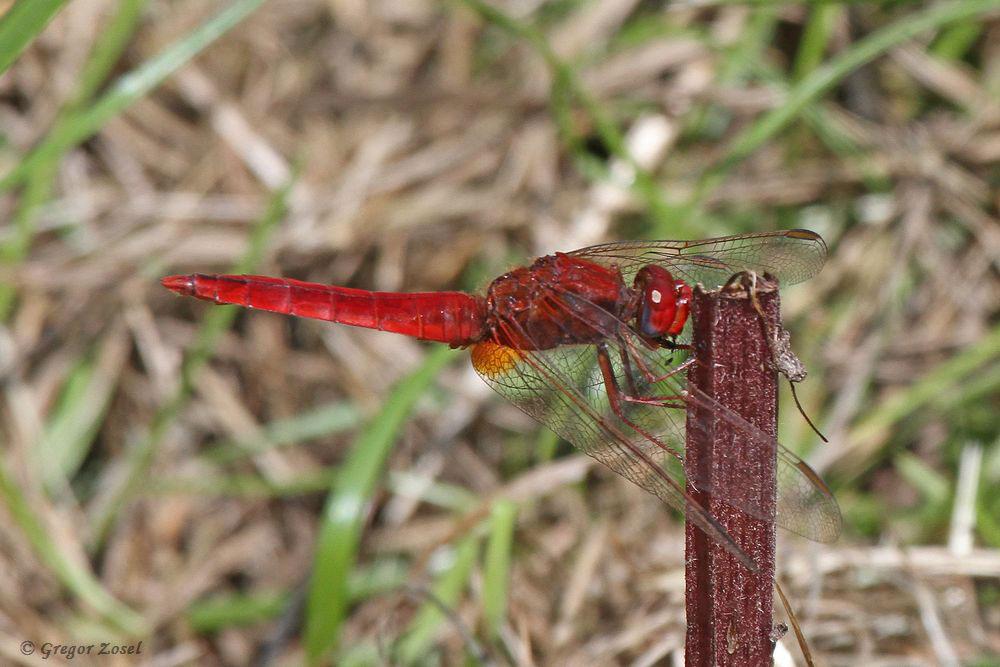 Schon von weitem leuchtet das knalle Rot der Feuerlibelle. Sie entdeckte ich in der Nähe des Wehres....am 26.07.17 Foto: Gregor Zosel