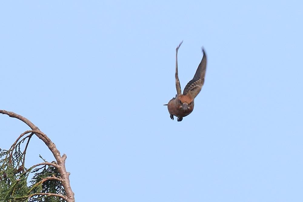 Ein einzelner Fichtenkreuzschnabel (m) in unserem Garten nach kurzem Gesang abfliegend, 13.10.2017 Foto: Bernhard Glüer