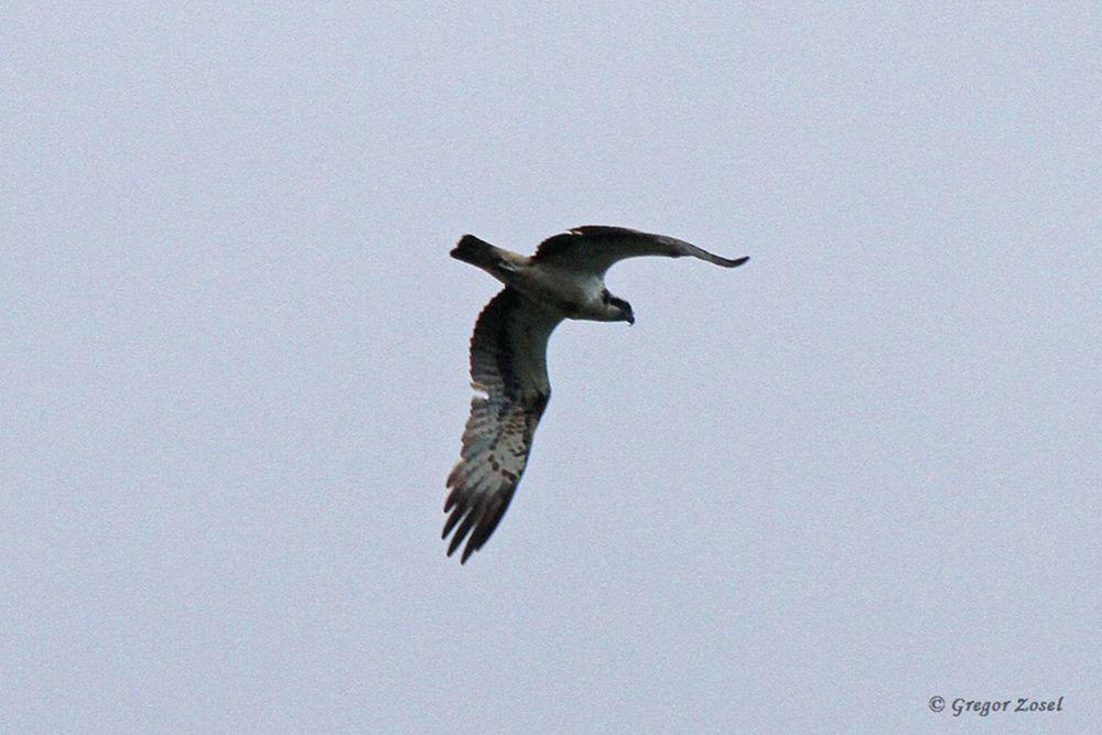 Fischadler über der Kiebitzwiese.....am 17.09.17 Foto: Gregor Zosel