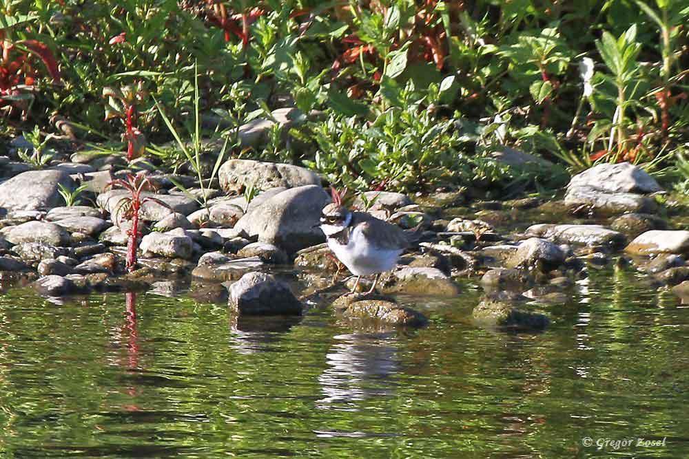 Das Flussregenpfeiferrevier an der Ruhr bei Wickede scheint wohl immer noch besetzt zu sein. Ein Vogel auf der bereits bekannten Kiesinsel. Der Partner wird wohl auf den Eiern sitzen....am 27.05.17 Foto: Gregor Zosel