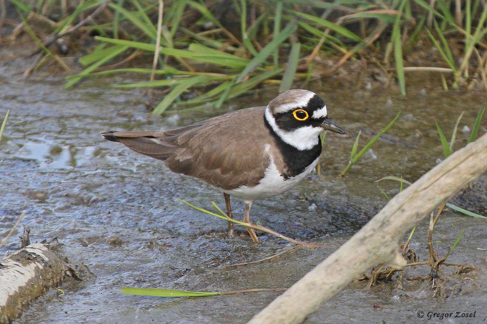 Flussregenpfeifer sucht im Schlamm nach Nahrung.....am 29.04.17 Foto: Gregor Zosel
