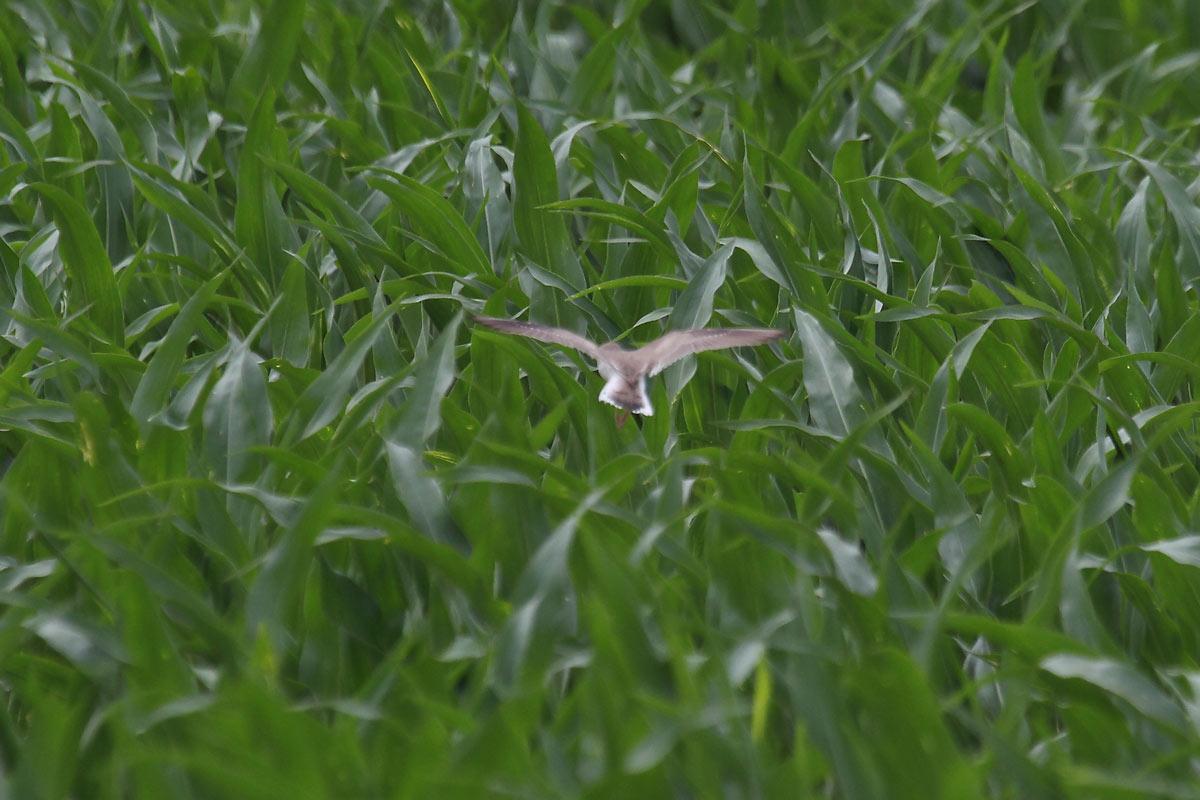 In dem aufwachsenden Mais wird es immer schwieriger, einen geeigneten Landeplatz zu finden. Foto H. Knüwer