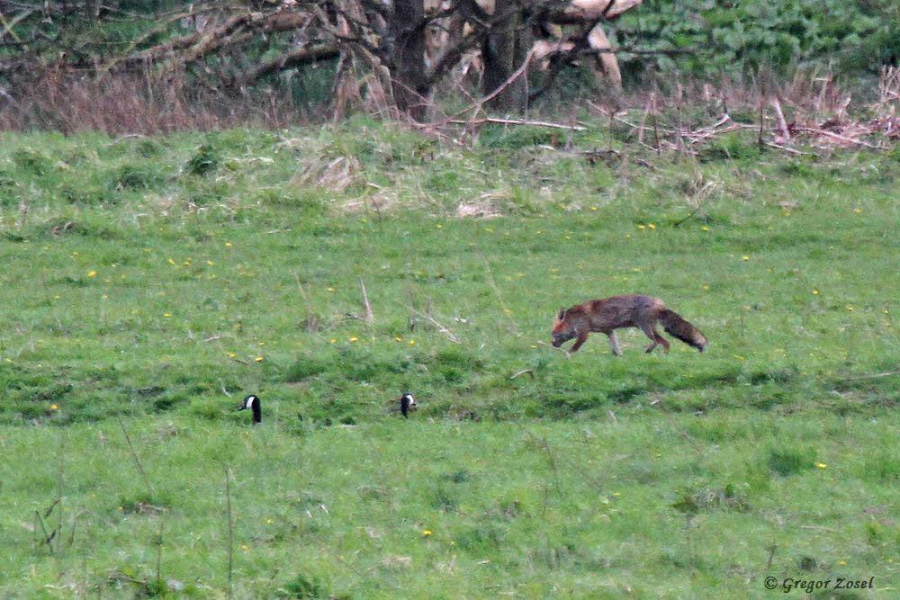 Am Abend schürt ein Fuchs in der Sperrzone. Dennoch fühlen sich die Kanadagänse auf der Wasserfläche sicher und schauen dem Fuchs seelenruhig zu....am 24.04.17 Foto: Gregor Zosel