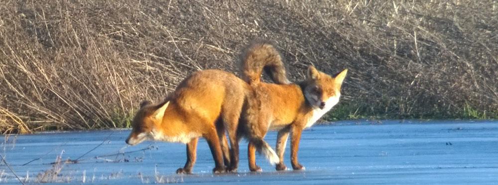 Das `Hängen´ der Füchse zum Abschluß der Paarung, 25.01.2017 Foto: Hans Joachim Göbel