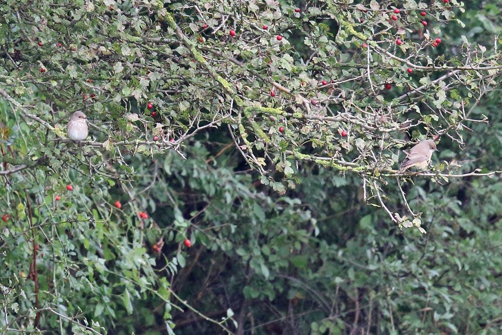 ... in den Hemmerder Wiesen ein weibchenfarbener Gartenrotschwanz gemeinsam mit einem Grauschnäpper, 18.09.2017 Foto: Bernhard Glüer