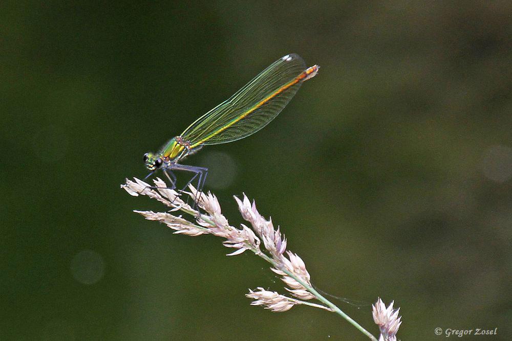 Auch das Weibchen bei dieser Libellenart ist recht prachtvoll.....am 24.06.17 Foto: Gregor Zosel
