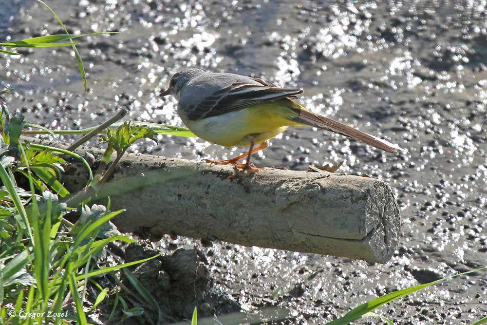 Balanceakt! Nur nicht das Gleichgewicht verlieren und in den schlammigen Abgrund fallen, denkt sich sicher diese Gebirgsstelze am Aussichtshügel.....am 14.05.17 Foto: Gregor Zosel
