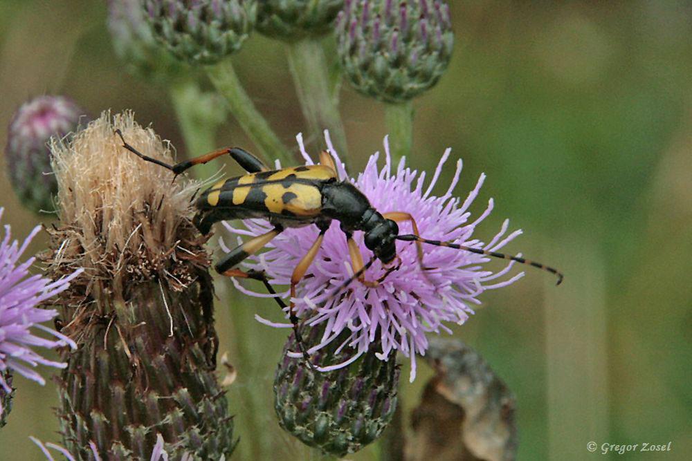 Der Gefleckte Schmalbock war eine der auffälligeren Käferarten im Blütenmeer....am 09.07.17 Foto: Gregor Zosel