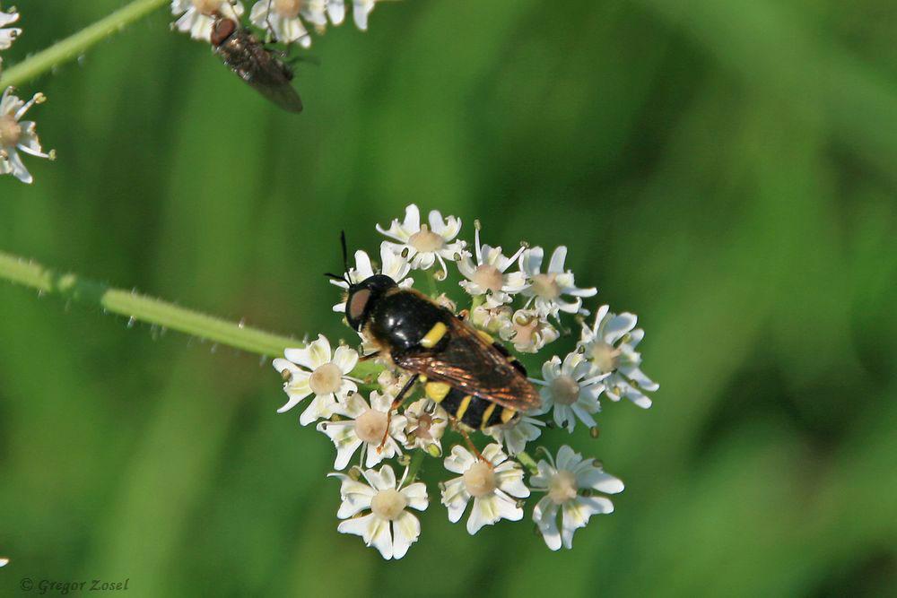 Die abschreckende Färbung der Gelbbandwaffenfliege (Stratiomys potamida) hält so manchen Fressfeind auf Distanz. Sie ernährt sich von Pollen und Nektar. Ihre Larven entwickeln sich in flache Gewässern.....am 19.07.17 Foto: Gregor Zosel