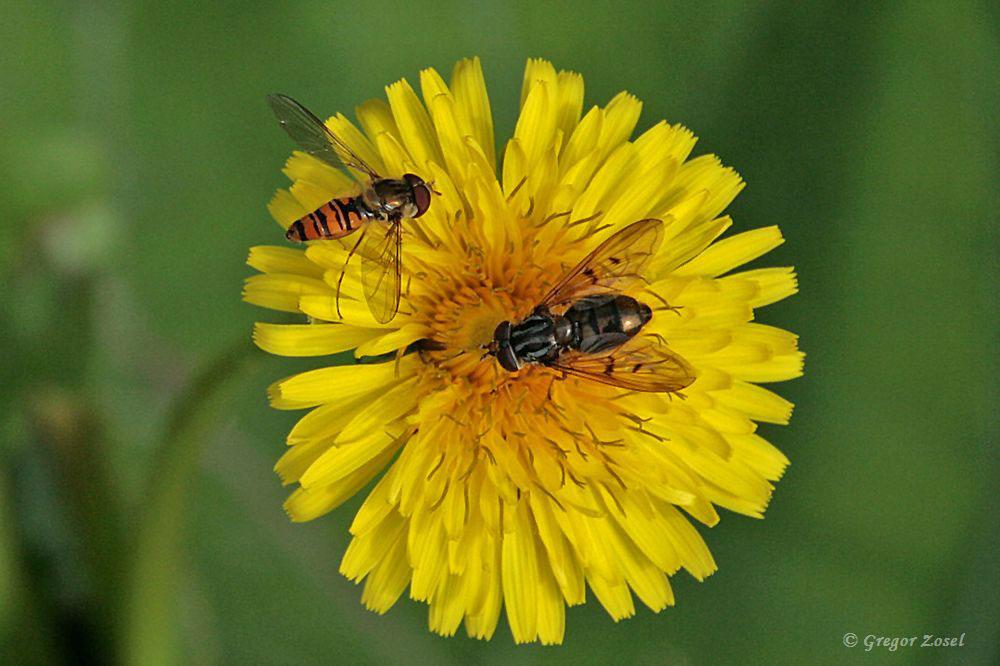 Die Vielfalt an blühenden Blumen lockt natürlich auch eine Vielzahl weiterer Insekten an. Hier haben sich eine Gemeine Goldschwebfliege und eine Hainschwebfliege zum gemeinsamen Frühstück getroffen....am 08.07.17 Foto: Gregor Zosel