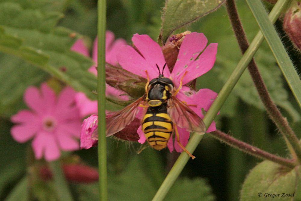 Mit dieser Gemeinen Wespenschwebfliege konnte ich bisher die zehnte Schwebfliegenart für das NSG Kiebitzwiese nachweisen....am 25.06.17 Foto: Gregor Zosel