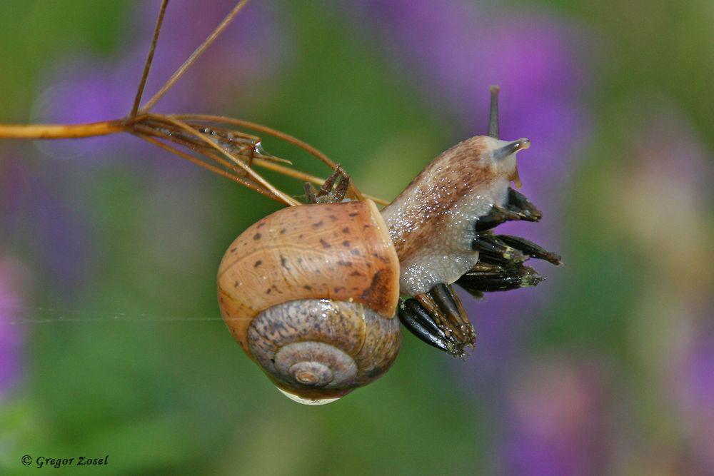 Bei meinen Insektenbeobachtungen komme ich zwar langsam voran, aber doch noch etwas schneller als diese Genabelte Strauchschnecke.....am 04.07.17 Foto: Gregor Zosel