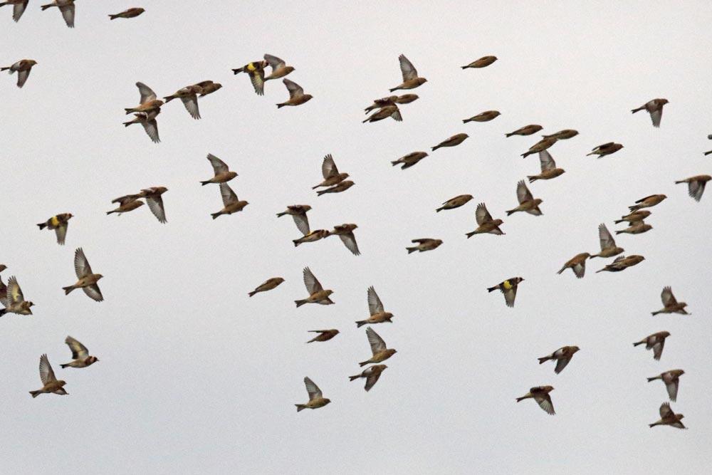 ... leuchtend gelbe Flügelbinden verraten einige Distelfinken unter ihnen, 26.11.2017 Foto: Bernhard Glüer