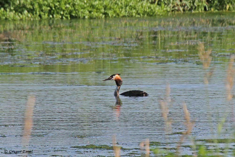 ...hat der andere Altvogel das Gewässer gewechselt. Er schwamm auf der Wasserfläche an der Alten Eiche.....am 23.07.17 Foto: Gregor Zosel