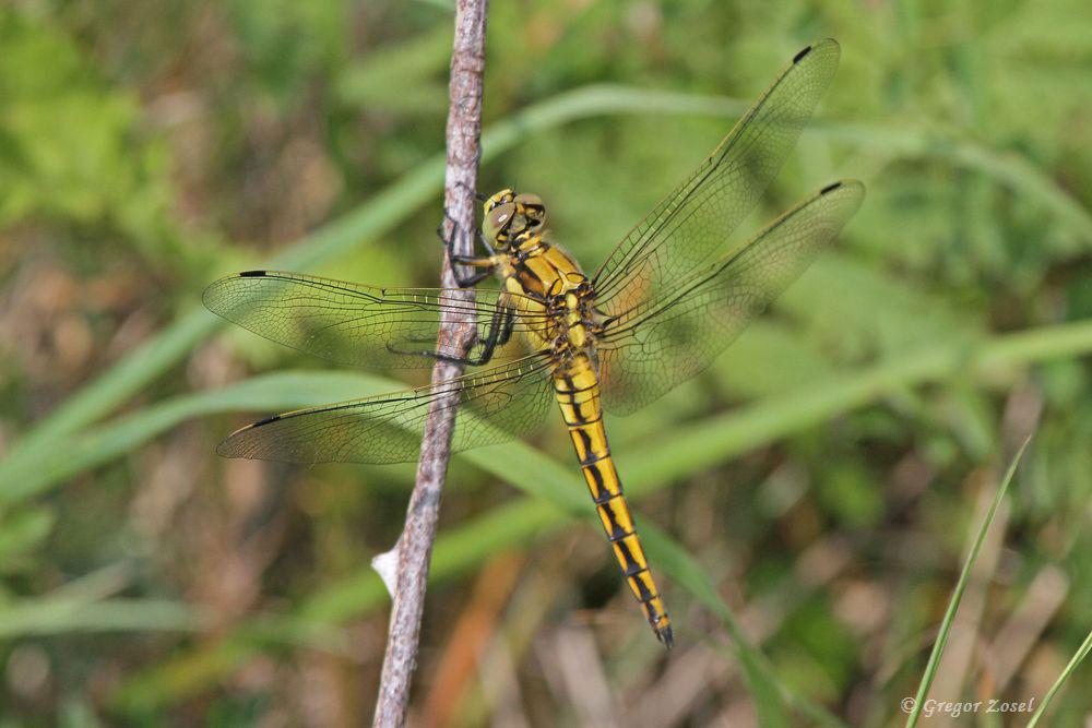 Diese Heidelibelle hat die Trockenwiesen mit ihren Insektenreichtum als Jagdrevier entdeckt....am 09.07.17 Foto: Gregor Zosel