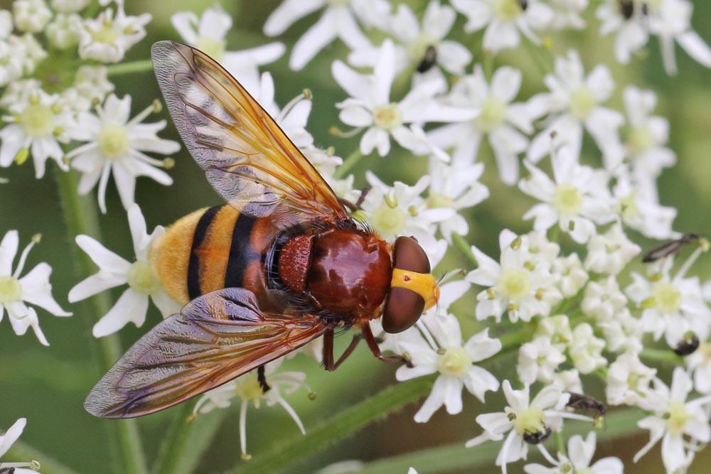... dass die ungefährliche Hornissenschwebfliege doch eine recht imposante Erscheinung ist..., 11.07.2017 Foto: Bernhard Glüer