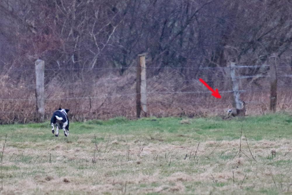 Herrenloser Hund streunt durch die Hemmerder Wiesen und hetzt hier einen Feldhasen, 10.01.2017 Foto: Bernhard Glüer