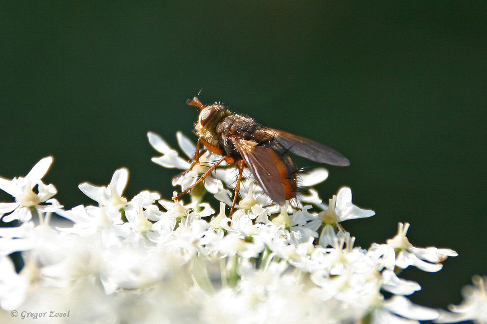 Die langen Haare auf dem Hinterleib, die wie Stacheln aussehen, gaben der Igelfliege ihren Namen. Sie gehört zur Familie der Raupenfliegen und ernährt sich ebenfalls von Pollen und Nektar.Die Weibchen der Igelfliegen legen ihre Eier in direkter Nähe zu Raupen verschiedener Eulenfalter ab. Die geschlüpften Larven bohren sich dann in die Körper der Raupen und fressen sie langsam von innen her auf......am 19.07.17 Foto: Gregor Zosel