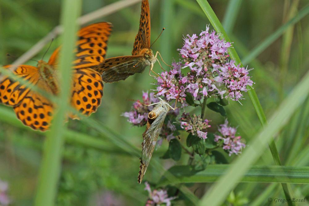 Bei den Kaisermänteln werden die Weibchen von den Männchen heftig umworben. Um dieses Weibchen buhlten gar 4 Männchen.....am 18.07.17 Foto: Gregor Zosel